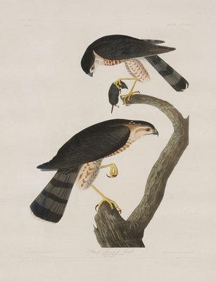 "John James Audubon,Sharp-Shinned Hawk, Original Print from the First Edition of ""Birds of America"" 23.5"" x 18.5"""