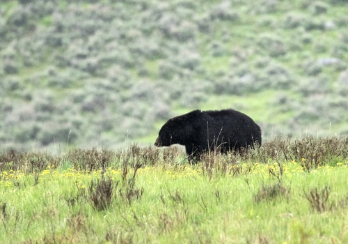 bears natrona county