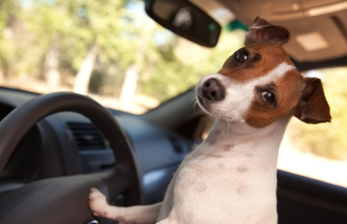 terrier dog driving
