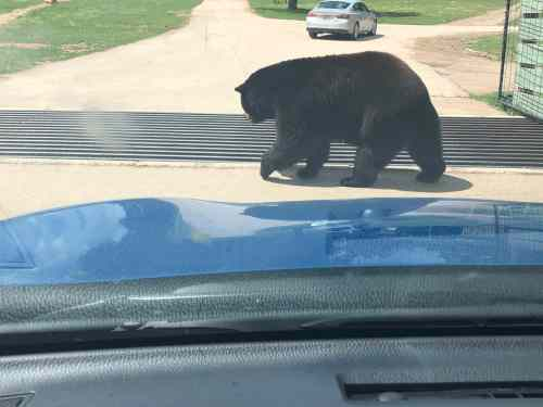 bear vs rav4