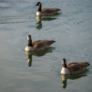 Geese afloat