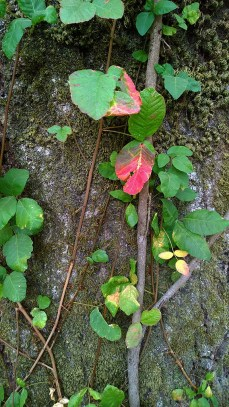 Colorful vine growing on oak tree trunk.