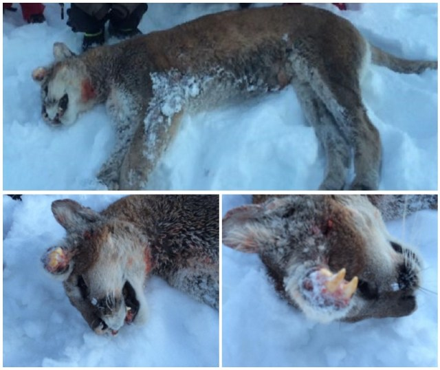 Strange Creature In Idaho Identified As A Mountain Lion
