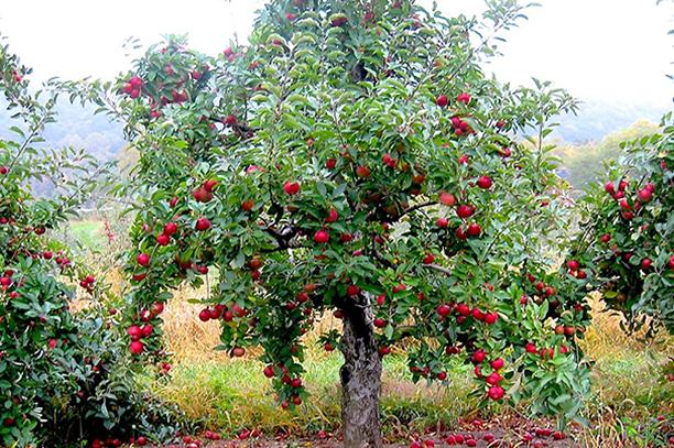 Winter Apple Orchard