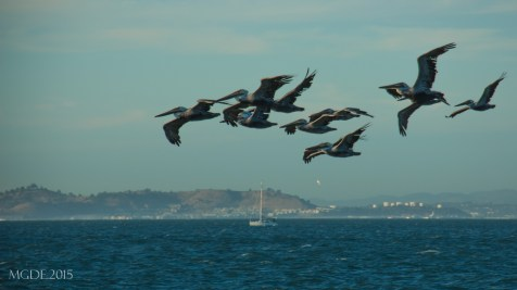 A flock of pelicans as seen from the end of Pier 39.
