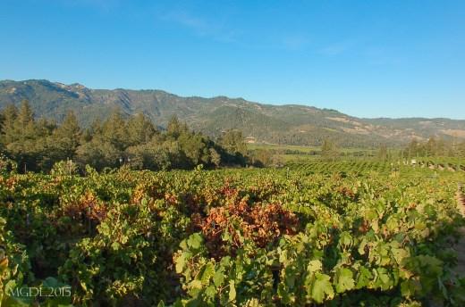 Castello de Amorosa vineyards