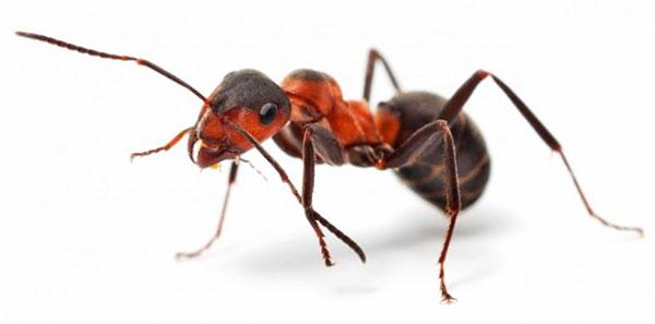 Kuinka päästä eroon muurahaisista talossa ja huoneisto omalla?