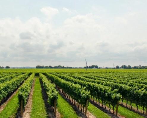 vitigni più diffusi nelle Marche