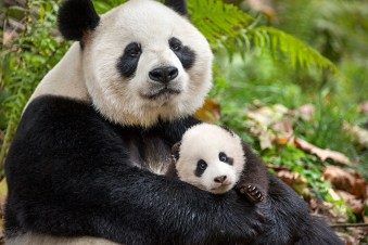 BORN IN CHINA. Photo by: Ben Wallis. ©2016 Disneynature. All Rights Reserved.