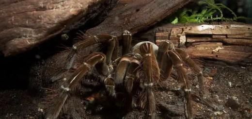 goliath tarantula