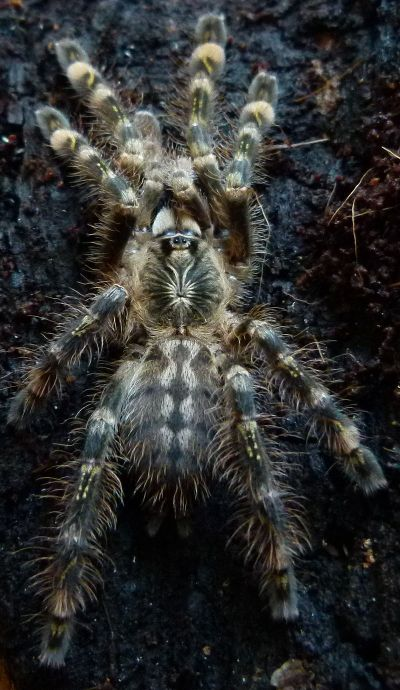 Ivory Ornamental Tarantula