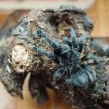 Grammostola pulchra