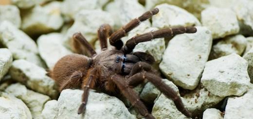 Orphnaecus sp Blue Panay