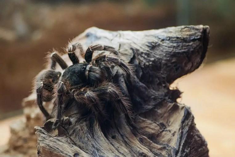 Bolivian Black Velvet (Acanthoscurria Insubtilis)