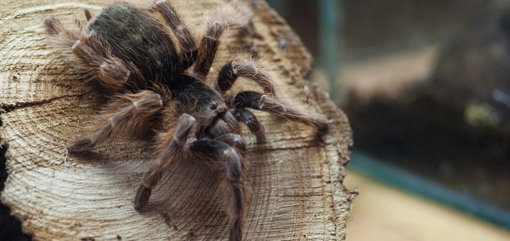 Natal Brown Bird Eater (Acanthoscurria natalensis)