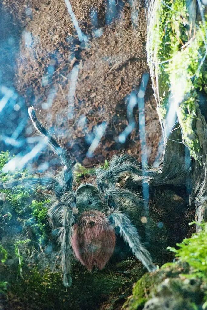 Flame Rump Spider (Thrixopelma ockerti)