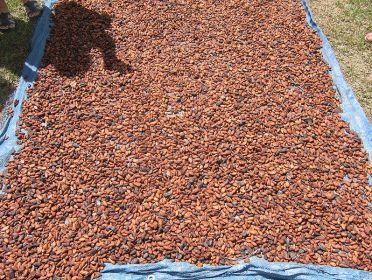 peru-cacao-san-martin-tarapoto