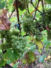 Dalwood Vineyard