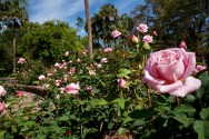 Lovely pink roses have began to bloom in the Washington Oaks Gardens in Palm Coast, Florida on Wednesday, March 29, 2017. The rose garden is another famous place in the garden, where the roses typically beautifully bloom in the early spring.