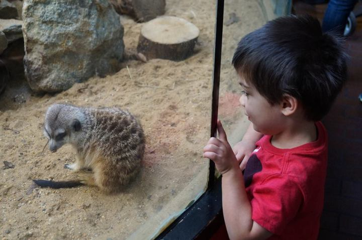Looking at a meerkat through the glass at the Smithsonian National Zoological Park