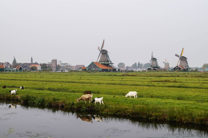 Windmills in a green field with goats at Zaanse Schans.