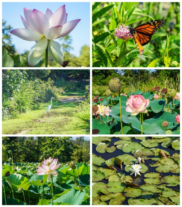 Aquatic flowers, butterfly, and heron at the Kenilworth Park and Aquatic Gardens