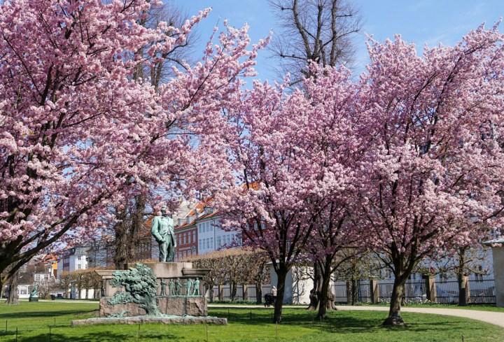 Cherry Blossoms outside Rosenborg