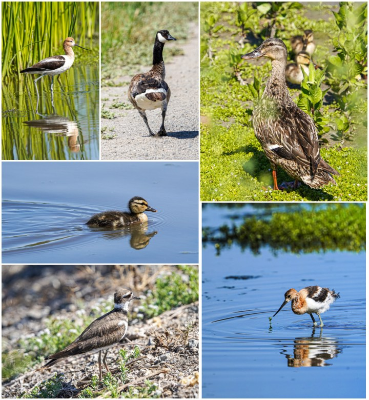 Ducks, geese, and water birds at San Joaquin Wildlife Sanctuary.