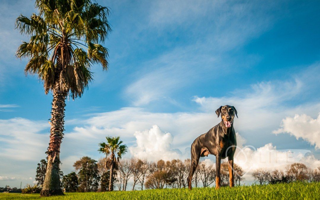 PawTraits Project: Floyd – Super Hero Doberman