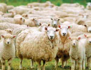 """Afyon'da koyunlar ölümcül """"koyun çiçek"""" hastalığına yakalandı"""