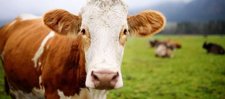 Ziraat Bankası'ndan damızlık sığır yetiştiricilerine destek