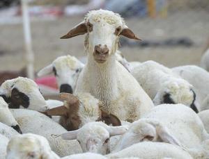 Kurbanlık küçükbaş hayvan 138 ülkenin koyun, keçi varlığından fazla