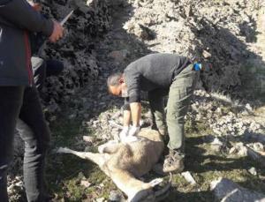 Tunceli'de 8 Yaban Keçisi Telef Olmuş Halde Bulundu