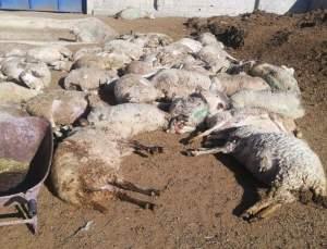 Konya'da Ahırdaki 300 Koyun Telef Oldu