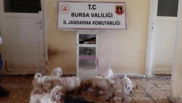 Çiftliğe Köpek Baskını; 'Maltese Terrier' Cinsi 23 Köpek Ele Geçirildi