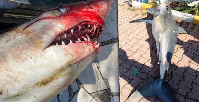 Antalya'da Şaşkına Çeviren Görüntü! Köpek balığı Ölüsü Sahile Vurdu!