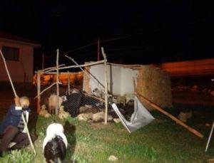 Sürü Halinde Gezen Sokak Köpekleri, 12 Koyunu Telef Etti