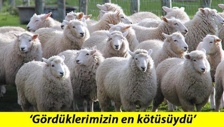 Yeni Zelanda'da Akılalmaz Olay… 226 Koyuna Ötenazi Yapıldı!