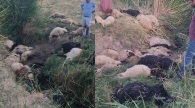 Dereye Atlayan Koyunu 500 Koyun Takip Etti