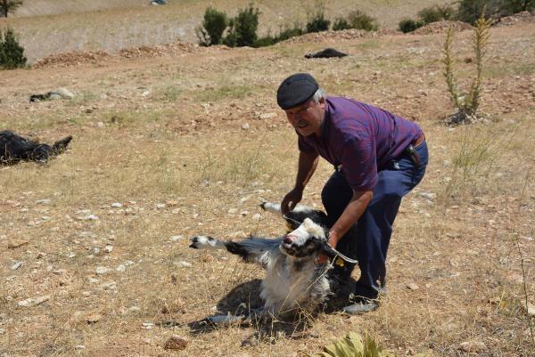 Tarla Etrafına Dökülen Gübreyi Yiyen 25 Keçi Öldü! İnceleme Başlatıldı