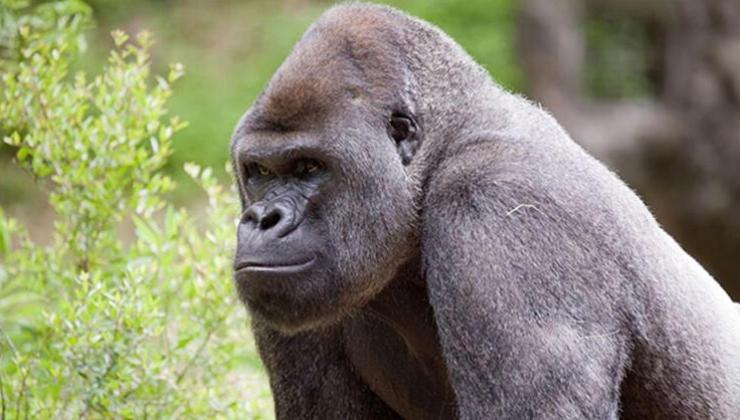 Koronavirüs Kapan Gorillere Aşı Yapılacak!