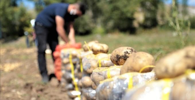 Pasinler Ovası'nda sertifikalı tohumla üretilen patateste kuraklığa rağmen rekolte arttı