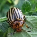 Patates böceği ve mücadelesi