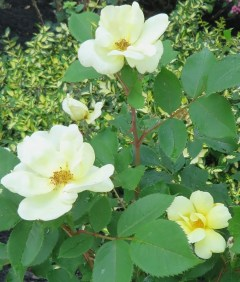 Yellow knockdown roses - I love the pastel yellow color of the bloom.
