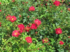 These small roses are great for a nice low bush with color.