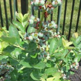 Yum! Blueberries are coming in nicely.