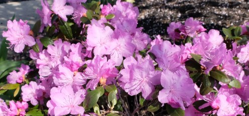 This is an Encore azalea that will bloom all summer.