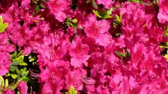 Pink Azalea Close Up