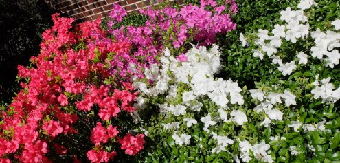 Fuschia, pink, and white azalea.