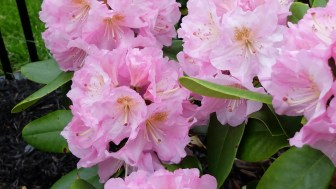 Rhododendrons - large pink flowers.